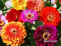 Zinnias are a favorite flower to grow.  So colorful and beautiful.