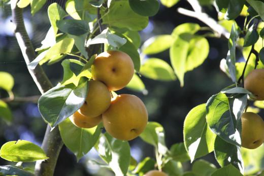 Pear-apple hybrids are among the newest apple hybrid varieties.
