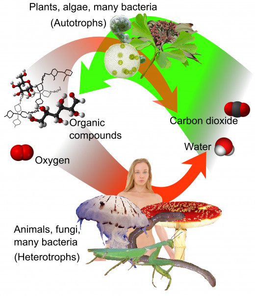 Plants, algae and bacteria's take sunlight and combine carbon dioxide (CO2) and water (H2O). and create glucose (C6H12O6) and oxygen gas (O2). When measured by mass, oxygen is the third-most abundant element in the universe.