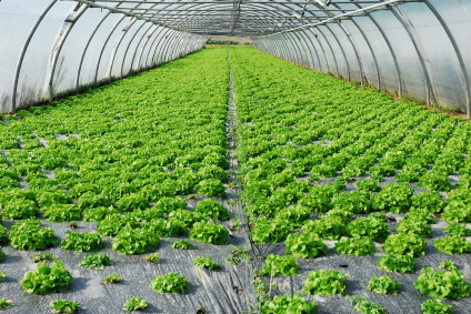 Crops under protective Cover