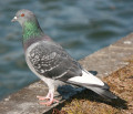 Pigeons of the world. Bird Orders. Columbiformes part 1