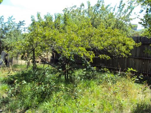 An Elberta peach tree.