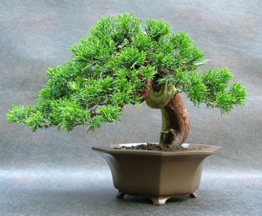 Miniature of 100 year old tree-the BEAUTY and SERENITY of a BONSAI