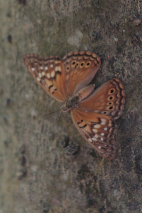 Tawny Emperor on a tree trunk