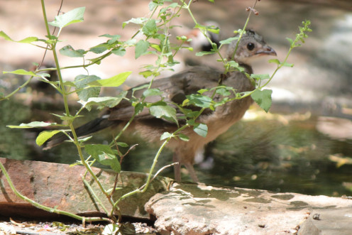 Small Chacalaca chick moving through an open spot beside the trail