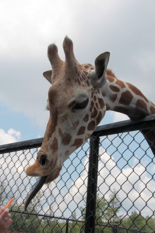 This is the comical sensational giraffe, called Jase who is the star of the wild animal park in Chittenango.  You can buy and feed him one of his favorite foods, carrots while visiting.