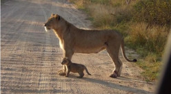 #KrugerNationalPark Sightings: Big Five and Small Five