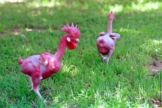 WEIRD  GENETICS? -Bald CHIcken!