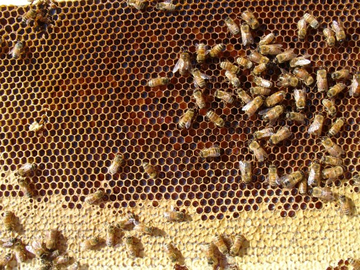 Honey bees build honeycombs for their larvae, honey, and pollen.