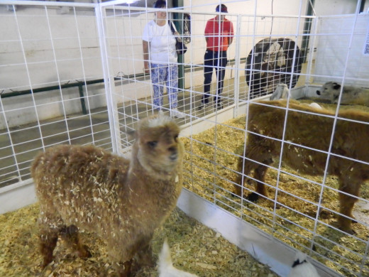 A baby Alpaca