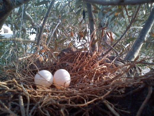 The nest is in an Olive tree . Djerba Island