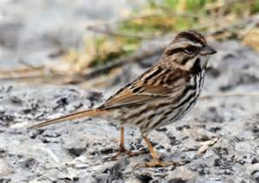 Song Sparrow with Speckled Breast Feathers