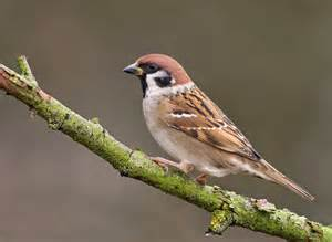 Tree Sparrow with Black Markings