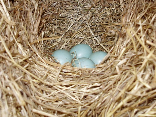 Blue bird nest and eggs.
