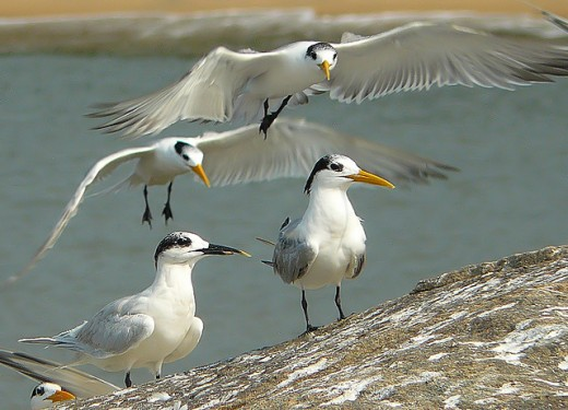 Sandwich & Lesser Crested Terns.