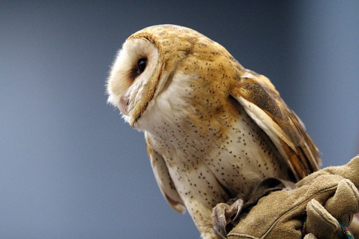 A beautiful barn owl.
