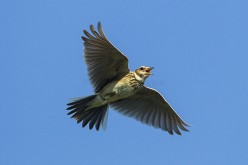 The Skylark's Plight Is No Lark