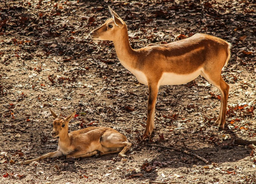 Gazelle-impala mother and baby