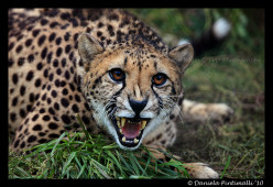 Facts about cheetahs