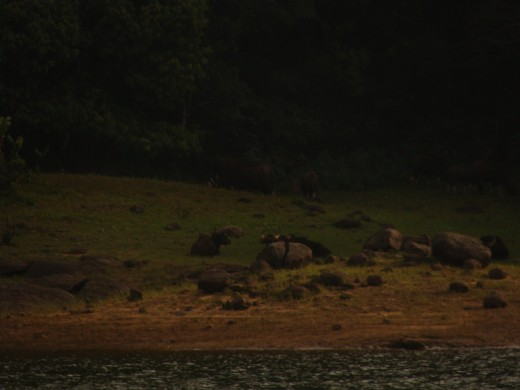 Bison's at Thekkady