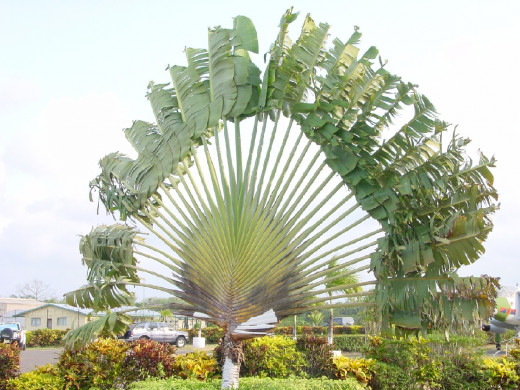 Ravenala madagascariensis, called Traveler's Tree for use of root to provide water to the thirsty.  Originated in Madagascar.