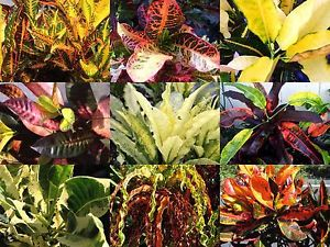 A colorful family, but poisonous. Seeds and sap of many examples cause diarrhea and intestinal cramps.