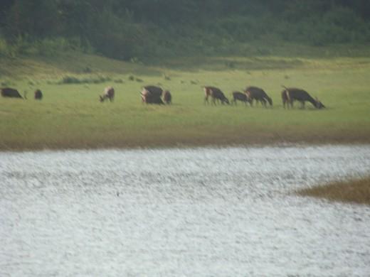 Herd of deers having their food - 1