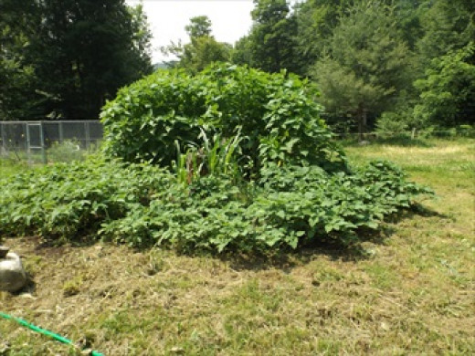 3rd year on old compost pile area and still going strong!