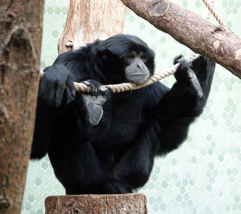 The big toe of a siamang is widely separated from the other toes, as can be seen on this individual's right foot.