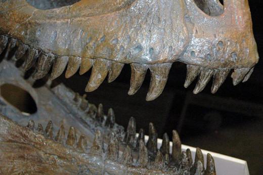 Cryolophosaurus ellioti theropod dinosaur.