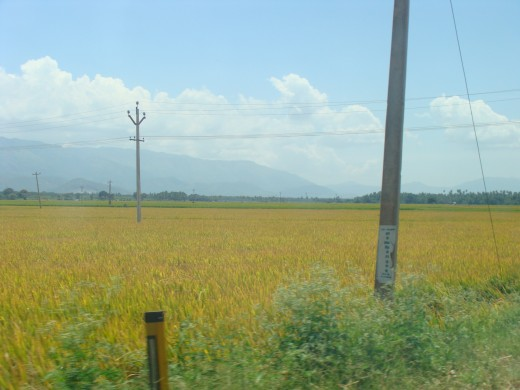 Paddy Farm near Theni - A district in South Tamil nadu of India - 3