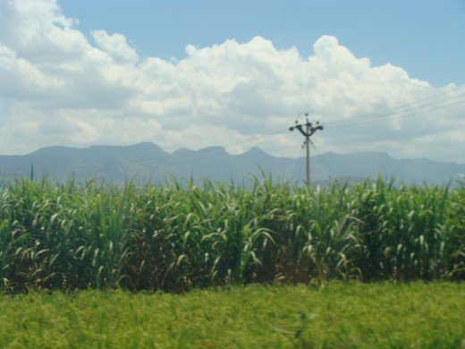 Sugarcane farm seen in Theni - A district in South Tamil nadu of India
