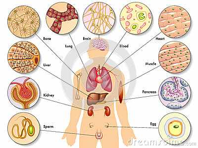 Different type of Cells in Humans