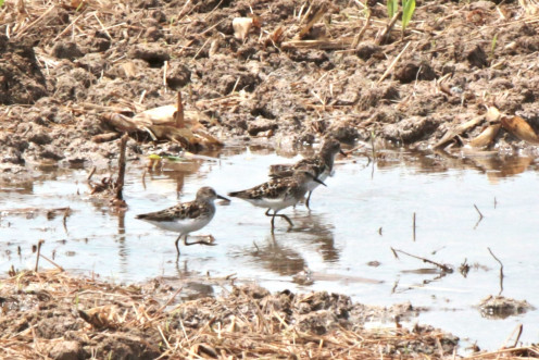 Two Pectoral Sandpipers and a Least Sandpiper walking in water.