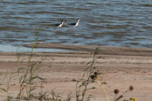 Two Black-necked stilts strolling on the shore