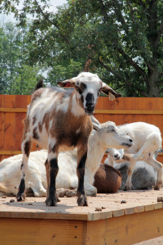 These comical friendly goats grab your attention and your hearts as they welcome you as you approach their areas to interact with them and to feed them.  They will make you laugh and they are intrigued with the people as much as the visitors are.