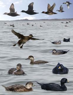 Anseriformes The ducks part 2