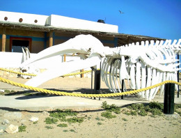 Humpback Whale skeleton at Ojos de Libres on Viszcaino Bay, just south of Guerrero Negro...