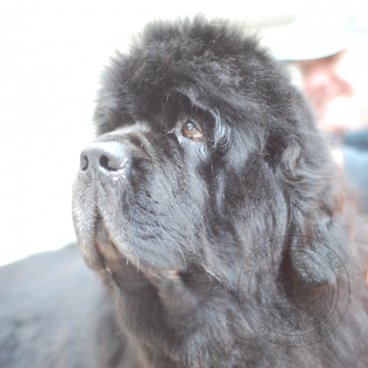 A Passion for the Newfoundland Dog Unites the Members of the NCA
