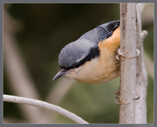 White-tailed nuthatch at Pangot