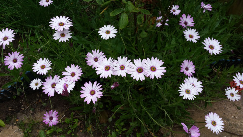 my daisies