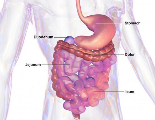 The gastrointestinal or GI tract