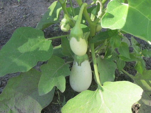 White Egg Plant growing in my garden.