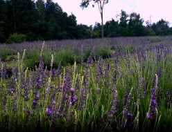 Small Town's Hidden Gem-The Lavender Farm