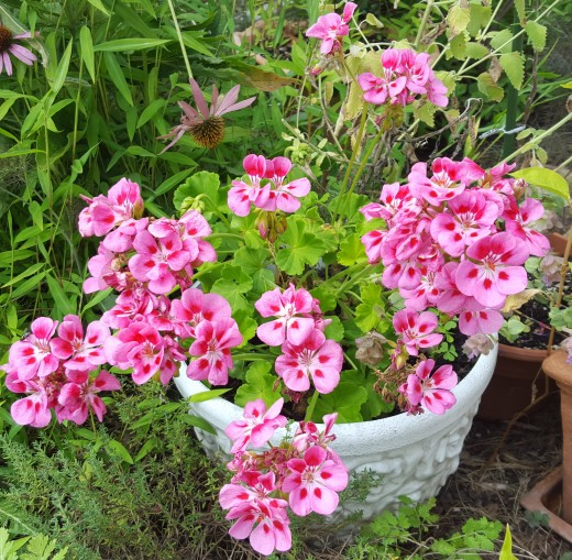 My geranium after initial deadheading.