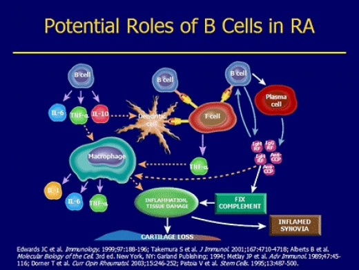 B cells come from the bone marrow, as pre-B cells, and they later mature. eventually, they develop into plasma cells that secrete the antibodies that the immune system needs to fight infections. these cells get more mature and develop differently.