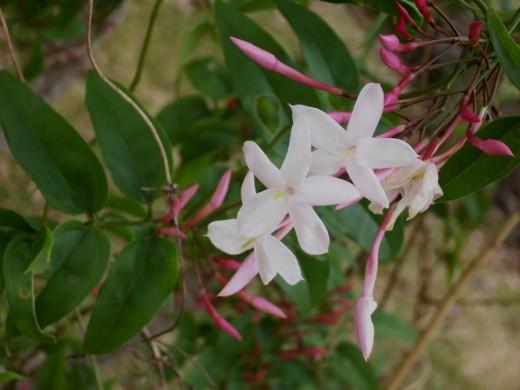 Polyanthus Jasmine