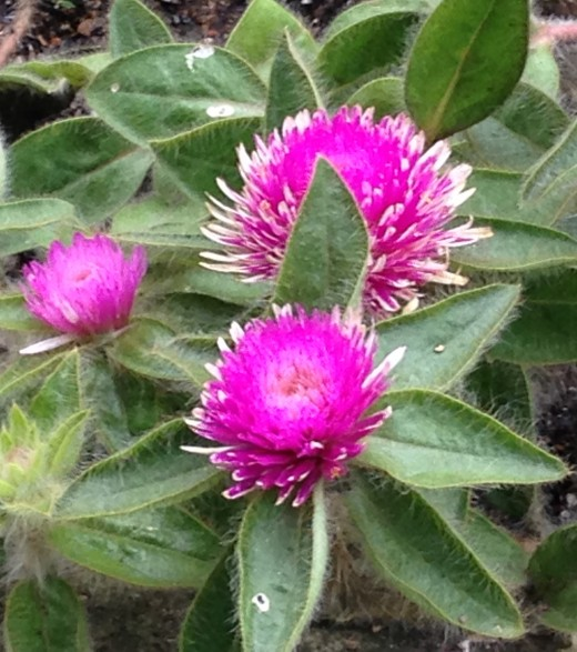 Pink Zazzle Globe Amaranth