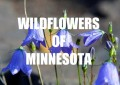 Minnesota Wildflowers (Image Gallery)