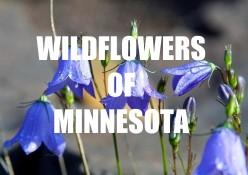 Minnesota Wildflowers (Image Gallery)